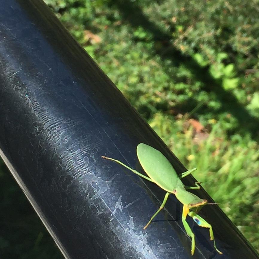 a praying mantis up close
